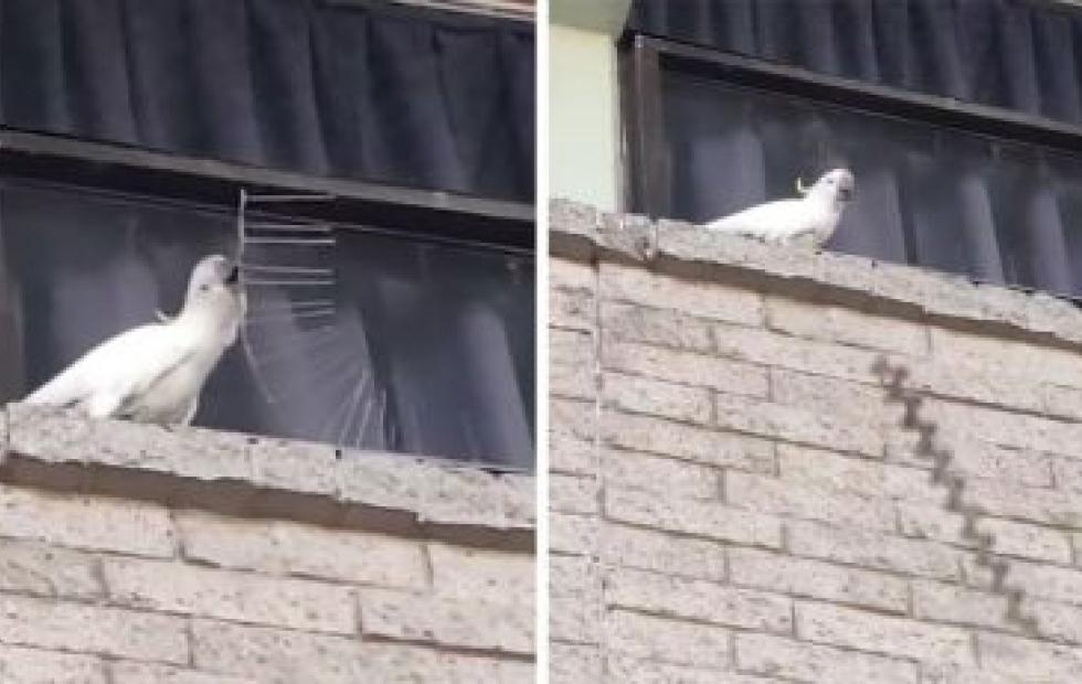 Video viral: Cacatúa arrancó las púas anti aves de un edificio y las tiró a la vereda