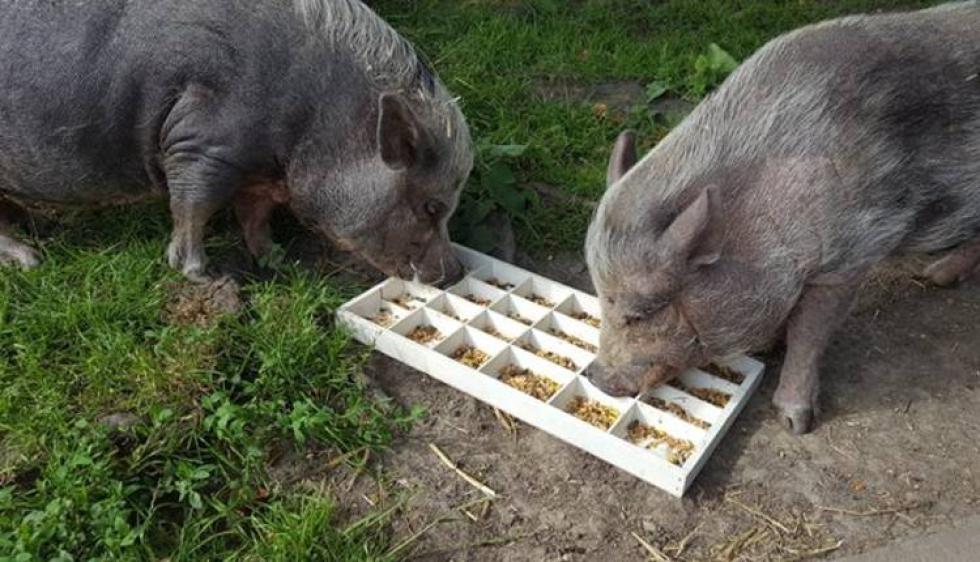 cerdo-despide-cerdo-fallecido.jpg