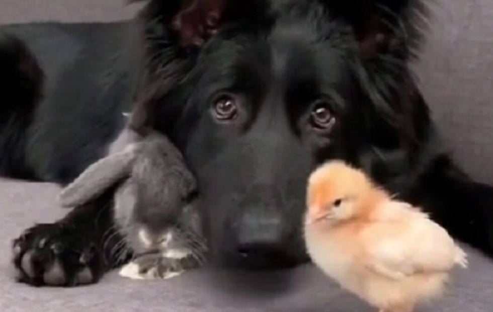El trío más insólito del mundo animal: un perro, un conejo y un pollito enamorados