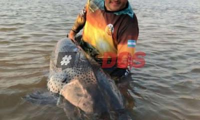 El río Paraná sigue dando gigantes en Corrientes: sacaron un surubí de 70 kg