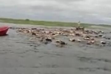 vacas nadan.jpg