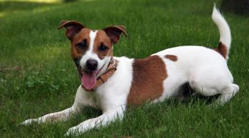 jack-russell-terrier-2_1.jpg_1956802537.jpg