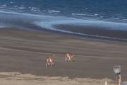Efecto coronavirus: aparecieron guanacos en las playas de la Península de Valdés