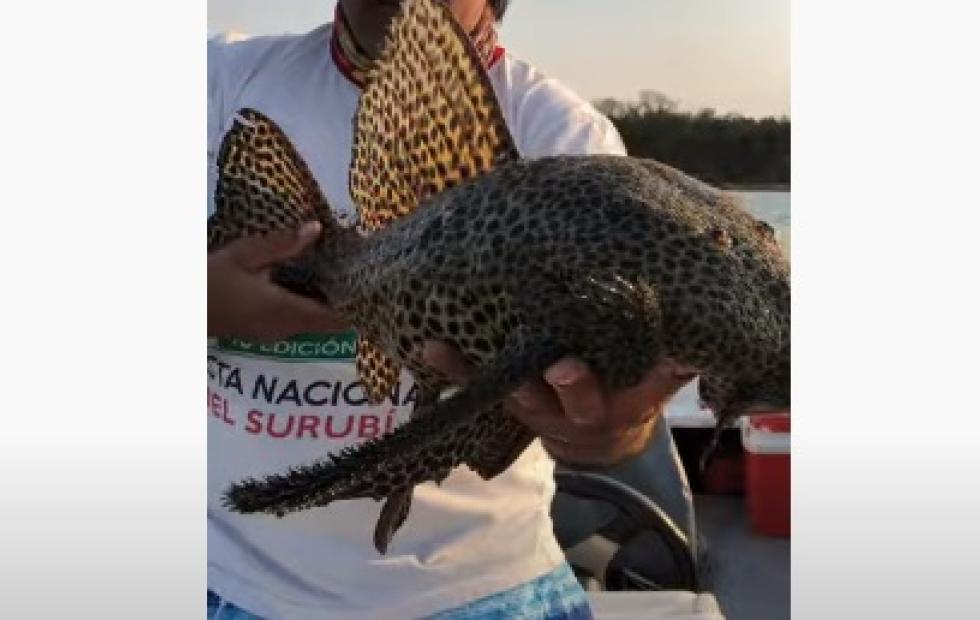 Increíble video: pescan una inusual vieja del agua en el río Paraná