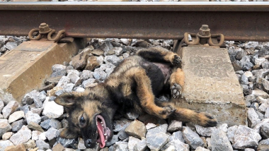 Rescue Dog Train Accident eyes full of tears begging for help, Dog Rescue Story tears of despair