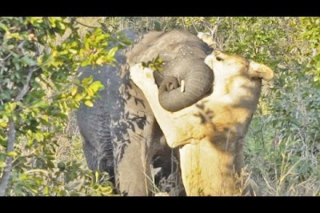 One Lioness Tries to Hunt Elephant