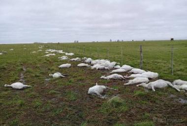 ovejas muertas en curuzu.jpg