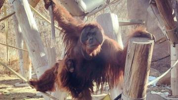 orangutan-reaccion-increible-cria.jpg