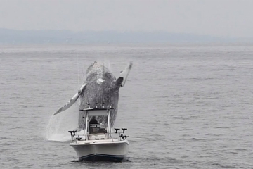 Whale Breach Close To Boat