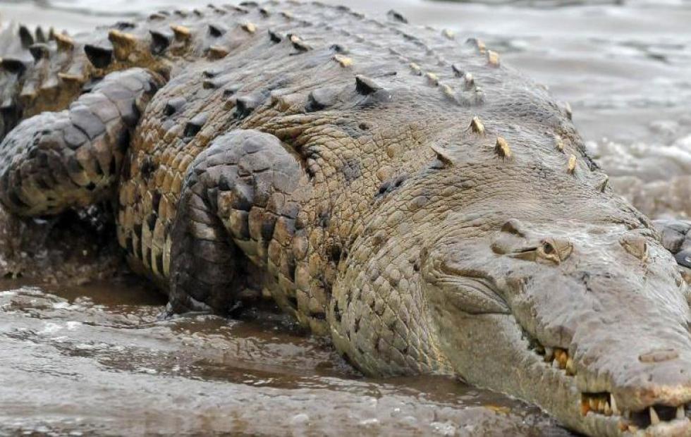 Conmoción: Una niña fue devorada por los cocodrilos que criaban sus padres