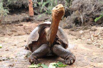 Tristeza mundial: Se retira Diego, la tortuga que salvó de la extinción a su especie