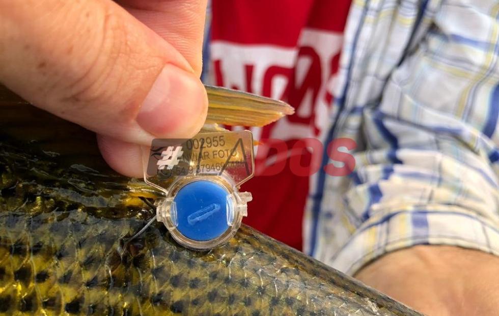 Se marcaron más de 100 peces en todo Corrientes desde que volvió la pesca al río Paraná