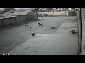 Una jauría de perros acabó con la vida de un hombre que caminaba por la calle