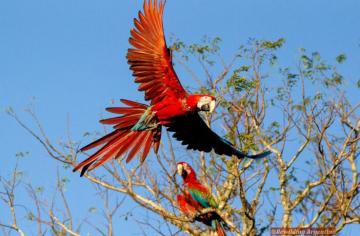 Guacamayo_Ibera_Parques_Nacionales_Rewilding_02-702x459.jpg