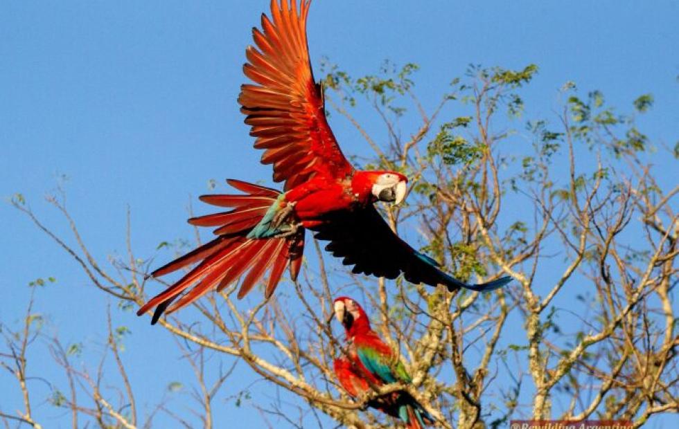 Parque Iberá: Guacamayos rojos por primera vez en más de 150 años
