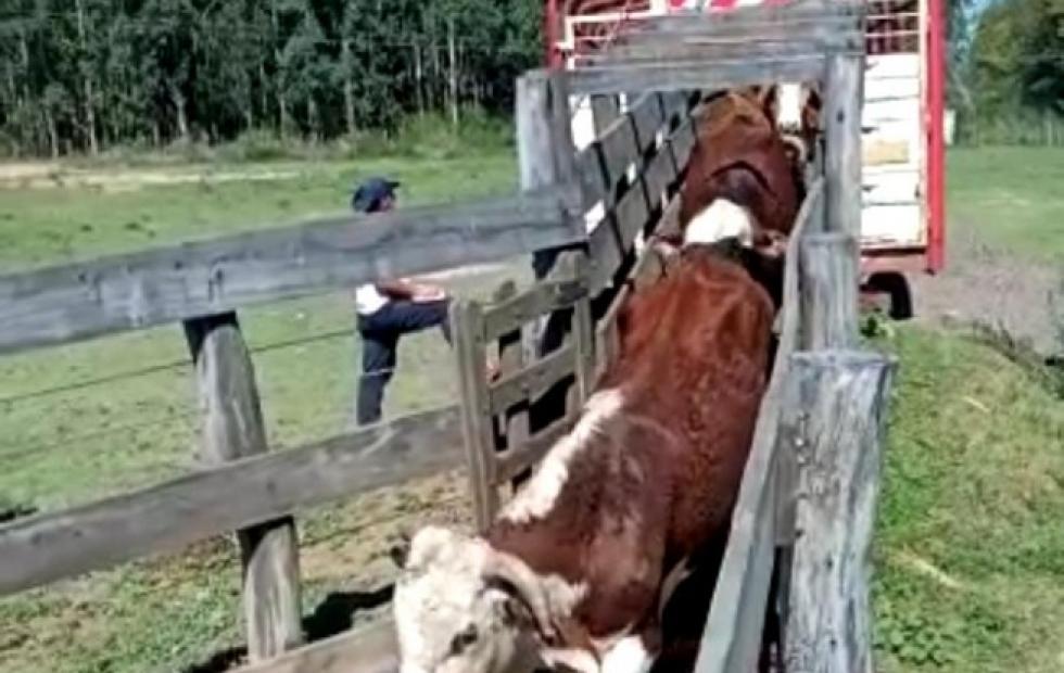 En Bella Vista, realizaron remates ganaderos para pequeños productores