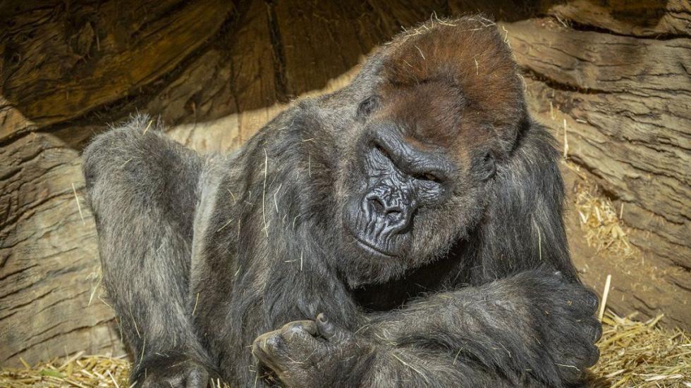 gorila-san-diego.jpg