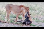 Perro salvaje finge estar muerto para huir de leona que se lo iba a comer