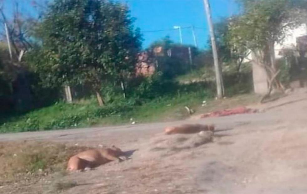 Vecino mató a tiros a dos pitbulls que habían atacado a su perro