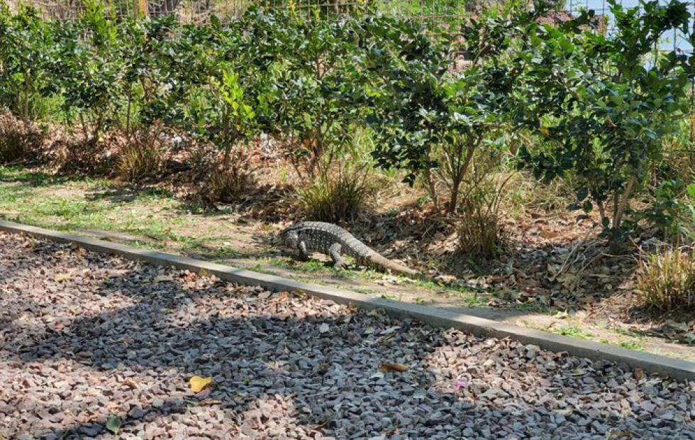 Corrientes: Captan la imagen de una iguana en plena Costanera