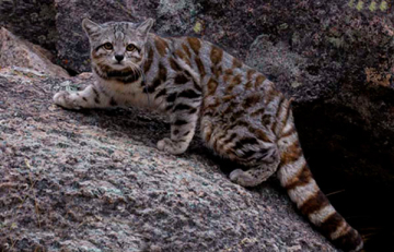 gato-andino.jpg