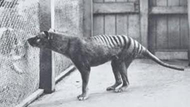 tigre-de-tasmania-imagenes.jpg
