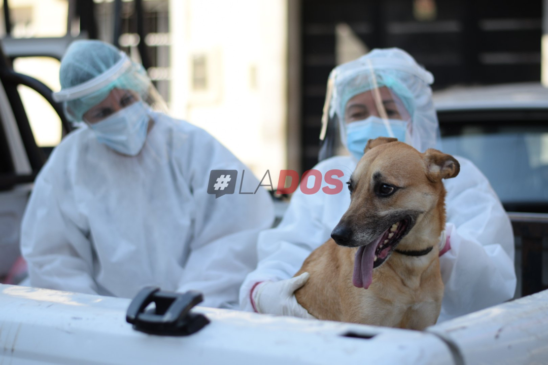 perro coronavirus