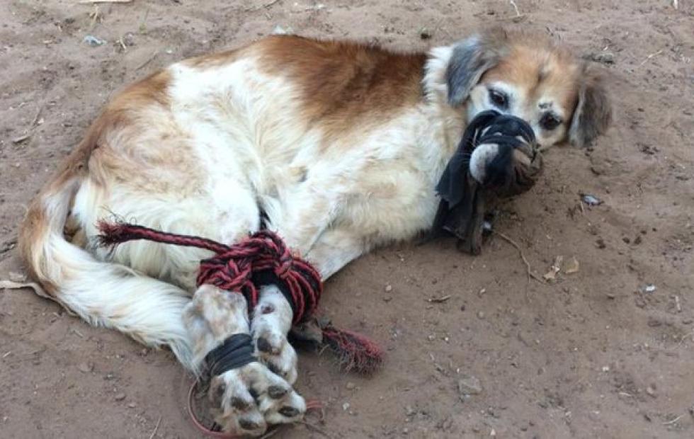 Indignación en Paraguay: encontraron a un perro maniatado y amordazado con cables en un baldío