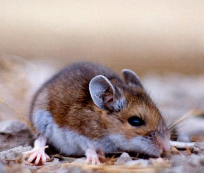 Hantavirus: dónde vive el colilargo, el roedor que transmite las distintas cepas
