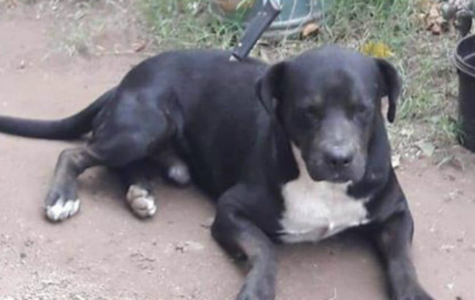 Indignación en Córdoba: Apuñalaron a un perro cuando regresaba a su casa