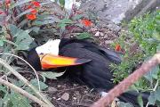 Salteños denuncian en Facebook la matanza de tucanes en Metán