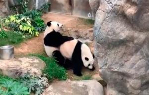 Una pareja de pandas se apareó por primera vez en 10 años