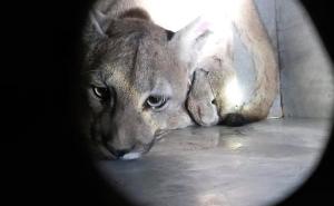 Capturan a tercer puma silvestre en Santiago de Chile, en medio de la cuarentena