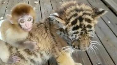 mono tigre.jpg