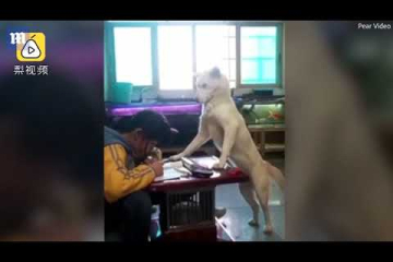 Parents train pet dog to 'supervise' daughter as she does homework