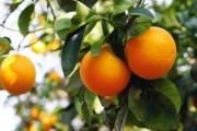 Sector Citrícola de Monte Caseros: Destacan que no hay nuevos casos positivos de HLB