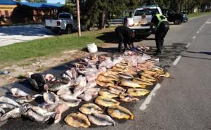 Decenas de surubís y dorados incautados a depredadores del río Paraná