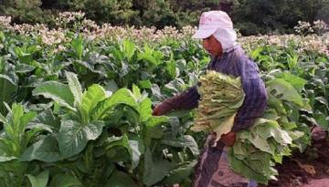 69139-liberan-para-los-productores-244-millones-de-pesos-del-fondo-especial-del-tabaco.jpg