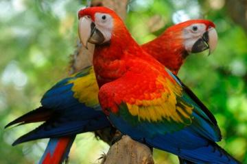 guacamayo-rojo-3v6nmr97e510.jpg