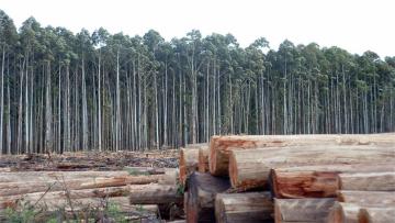 eucaliptus-plantacion-forestal.jpg