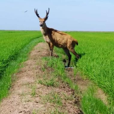 ciervo del pantano en arrocera.jpg