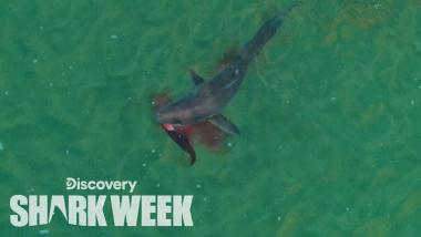 Drone Spots Shark Hunting Seal | Shark Week