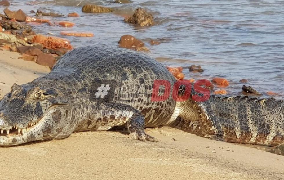 """Ambientalista, por el yacaré hallado en la costanera: """"El ser humano es la amenaza de esta especie"""""""