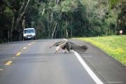Un oso hormiguero cruzó la calle ante la mirada atónita de los turistas en las Cataratas
